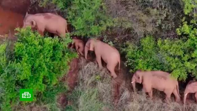 ВКитае оценили ущерб от «похода» сбежавших из заповедника слонов в$1млн.Китай, животные, заповедники.НТВ.Ru: новости, видео, программы телеканала НТВ