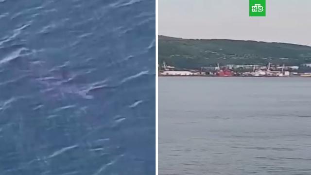Акула-людоед приплыла к берегам Сахалина.Сахалин, акулы.НТВ.Ru: новости, видео, программы телеканала НТВ