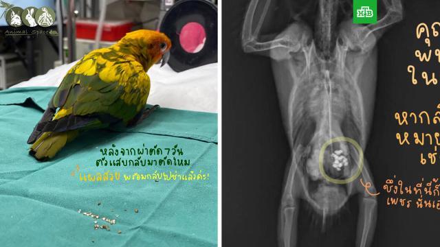 Попугай украл и съел больше 20 бриллиантов в Таиланде.В Бангкоке ветеринары спасли попугая, который объелся бриллиантами.Таиланд, бриллианты, ветеринария.НТВ.Ru: новости, видео, программы телеканала НТВ