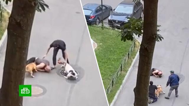 Как сгуся вода: почему хозяина стаффордов не пугают штрафы за выгул собак без намордника.Санкт-Петербург, нападения, скандалы, собаки.НТВ.Ru: новости, видео, программы телеканала НТВ