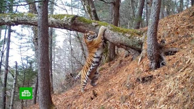 ВПриморье излечившуюся от стресса амурскую тигрицу вернули вдикую природу.Приморье, животные, тигры.НТВ.Ru: новости, видео, программы телеканала НТВ