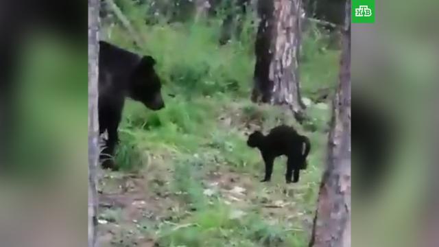 ВЯкутии домашний кот отогнал дикого медведя от хозяев.Якутия, кошки, медведи.НТВ.Ru: новости, видео, программы телеканала НТВ