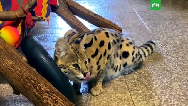 Львы, пума исервал изучают новую игрушку взоопарке.Санкт-Петербург, животные, зоопарки, кошки, львы.НТВ.Ru: новости, видео, программы телеканала НТВ