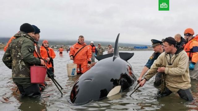 Детеныш косатки застрял у берега в Магадане.Жители Магадана спасли выброшенного на отмель детеныша косатки.киты, Магаданская область, море.НТВ.Ru: новости, видео, программы телеканала НТВ