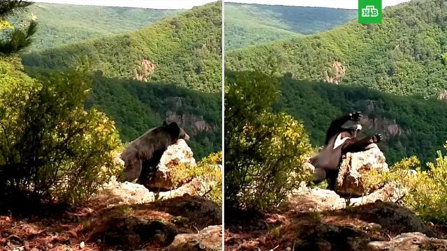 Гималайский медведь поиграл сфотоловушкой вприморском заповеднике.Приморье, заповедники, медведи.НТВ.Ru: новости, видео, программы телеканала НТВ