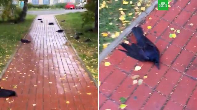 Сотни воронов упали замертво в Новосибирской области.Новосибирская область, птицы, смерть.НТВ.Ru: новости, видео, программы телеканала НТВ