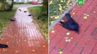 Сотни воронов упали замертво вНовосибирской области.НТВ.Ru: новости, видео, программы телеканала НТВ