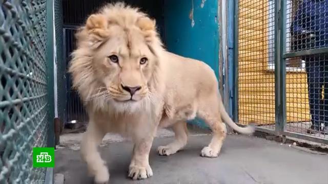 Спасенного от смерти вдагестанском ауле льва Симбу отправили вТанзанию.Африка, животные, приюты для животных.НТВ.Ru: новости, видео, программы телеканала НТВ