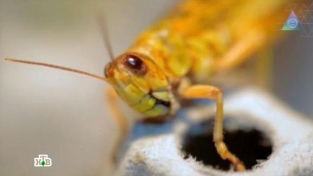 Выпуск от 12мая 2013года.Меню из насекомых, опасность УЗИ иальтернатива утюгу.НТВ.Ru: новости, видео, программы телеканала НТВ