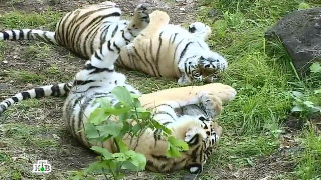 Русский тигр.Русский тигр.НТВ.Ru: новости, видео, программы телеканала НТВ