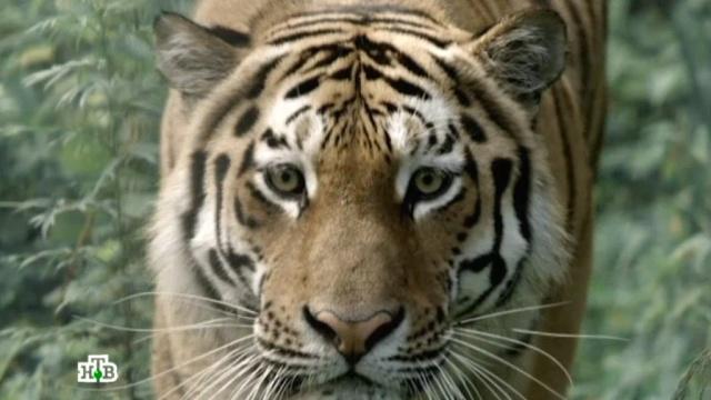 «По следу тигра».«По следу тигра».НТВ.Ru: новости, видео, программы телеканала НТВ