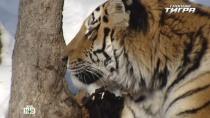 «Тропою тигра».«Тропою тигра».НТВ.Ru: новости, видео, программы телеканала НТВ
