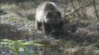 «Сага омедведе — 2».«Сага о медведе — 2».НТВ.Ru: новости, видео, программы телеканала НТВ