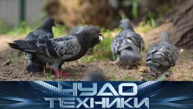 Почему не стоит кормить голубей ичем опасны офисные кресла? «Чудо техники»— ввоскресенье в11:00.НТВ.Ru: новости, видео, программы телеканала НТВ