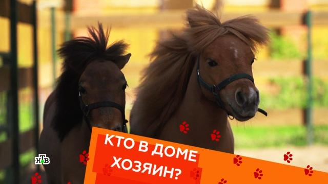 Американские мини-лошади, агрессивный бультерьер икошка-защитница.Американские мини-лошади, агрессивный бультерьер икошка-защитница.НТВ.Ru: новости, видео, программы телеканала НТВ