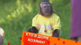 Воспитание обезьянки и «трудный возраст» у кота.Воспитание обезьянки и «трудный возраст» у кота.НТВ.Ru: новости, видео, программы телеканала НТВ