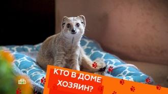 Ручной мангуст, уход за слепой кошкой ибоязнь детей усобак.Ручной мангуст, уход за слепой кошкой ибоязнь детей усобак.НТВ.Ru: новости, видео, программы телеканала НТВ