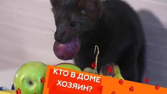 Выпуск тридцать седьмой.Домашний соболь испособы подружить конфликтующих кошек.НТВ.Ru: новости, видео, программы телеканала НТВ