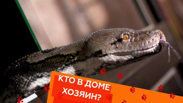 Выпуск тридцать восьмой.Змеи-питомцы, прогулка для кошки ипес-терапевт .НТВ.Ru: новости, видео, программы телеканала НТВ