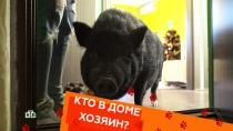 Выпуск тридцать девятый.Все омини-пигах, кошки-хулиганы иприют для собак.НТВ.Ru: новости, видео, программы телеканала НТВ