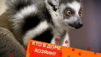 Выпуск сороковой.Кошачьи лемуры, зависимость от питомца ивсе окошках породы британская шиншилла.НТВ.Ru: новости, видео, программы телеканала НТВ