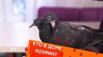 Выпуск сорок седьмой.Почему не стоит подбирать голубей, кошка, бегающая по стенам, инепослушные чау-чау.НТВ.Ru: новости, видео, программы телеканала НТВ