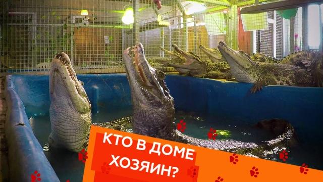 Выпуск пятьдесят восьмой.Уход за крокодилом, соперничество собак и перевозка кота.НТВ.Ru: новости, видео, программы телеканала НТВ