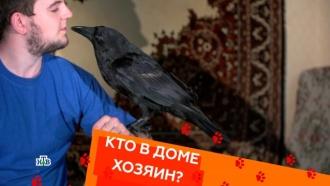 Воспитание котов-ориенталов и содержание ворона в квартире.Воспитание котов-ориенталов и содержание ворона в квартире.НТВ.Ru: новости, видео, программы телеканала НТВ