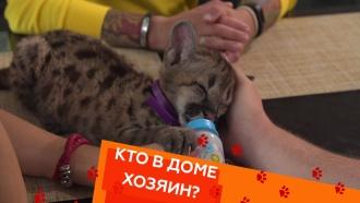 Выпуск шестьдесят третий.Дикий нрав котенка пумы и6правил обращения ссобаками.НТВ.Ru: новости, видео, программы телеканала НТВ