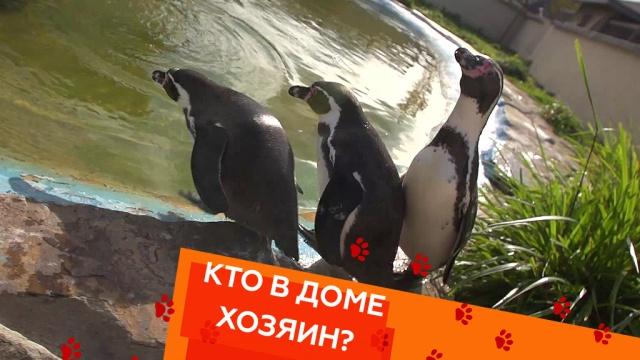 Выпуск шестьдесят седьмой.Почему пингвины боятся воды, а также — как усмирить чихуахуа и отучить кота пугаться своего отражения.НТВ.Ru: новости, видео, программы телеканала НТВ