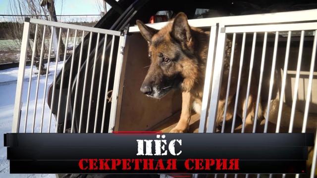 «Пёс. Секретная серия».«Пёс. Секретная серия».НТВ.Ru: новости, видео, программы телеканала НТВ